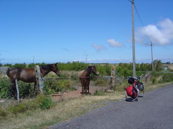 chevaux intrigués par une mule de bourin