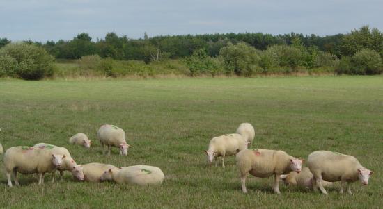 moutons attentifs